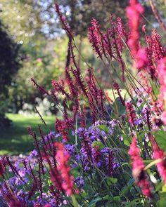 Bistorta (Persicaria) a. Firetail and Aster amellus are still flowering profusely. Have a lovely Saturday evening! / En riktigt fin lördagkväll önskar vi er! #trollesgarden