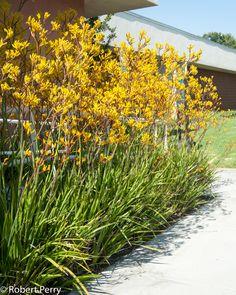 Australian Garden Design, Australian Native Garden, Australian Plants, Front Garden Landscape, Landscape Design, Kangaroo Paw Plant, Red Kangaroo, Garden Planner, Native Plants