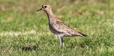 Pacific Golden-Plover | Audubon Field Guide