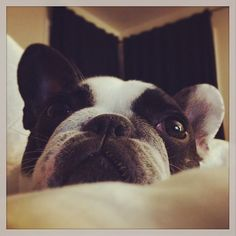 """""""When are you coming to bed?"""", a very sleepy  Frenchton, a French Bulldog and Boston Terrier mix Puppy, and 100% gorgeous."""