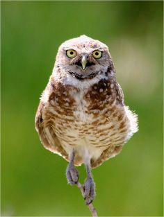 The Burrowing Owl – The Smallest Species of Owl  Pinned by www.myowlbarn.com