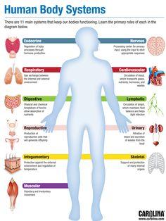 Infographic - human body systems human body systems, physiology, teaching s Human Body Anatomy, Human Anatomy And Physiology, Renal Physiology, Anatomy Organs, Nursing School Notes, Nursing Schools, Ob Nursing, Funny Nursing, Biology Lessons