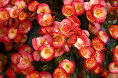 'Little red blossoms' von Roland Hemmpel bei artflakes.com als Poster oder Kunstdruck $16.63