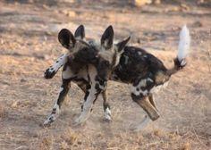 Wild dog puppies at play – Zimbabwe Wild Dogs