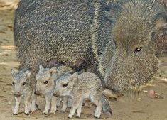 Chacoan Peccaries... Turns out the pig-like animals feature similar snouts, Native to Bolivia, Argentina, and Paraguay, the animal was thought to be extinct until 1972 when the species was discovered to still exist in the Chaco region of Paraguay.