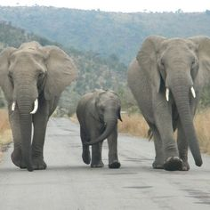 #elephants at the +Pilanesberg National Park in #southafrica.