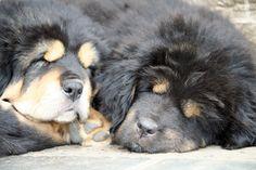 Nyima et Mani Tibetan Mastiff, Puppies, Dogs, Animals, Cubs, Animales, Animaux, Pet Dogs, Doggies