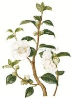 botanical illustration of a branch of Camellia with two flowers in full bloom