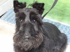 FLAPPER is an adoptable Scottish Terrier Scottie Dog in Tucson, AZ. BLACK...