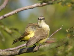 Great Kiskadee by Richard McManus on 500px
