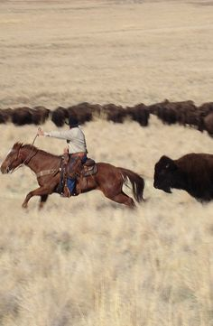 """Every end-of-October, the bison-round-up allows weekend cowboys to """"drive"""" the island's bison to the corrals at the north end of the island where their health is checked, and some are culled. Some go willingly. Others put up a stink - and give horse, rider and photographer a thrill. #bison #bisonroundup #utah #antelopeisland"""