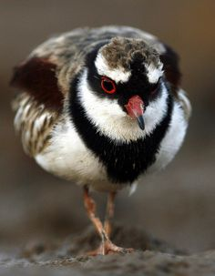 The Black-fronted Dotterel (Elseyornis melanops)