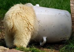 This, ladies and gentlemen, is a polar bear. Wait, turn around. TURN. AROUND. | 24 Times Polar Bears Were The Party Animals Of The Animal Kingdom