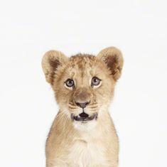 Lion Cub Little Darling