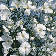 Gypsophila Elegans Covent Garden