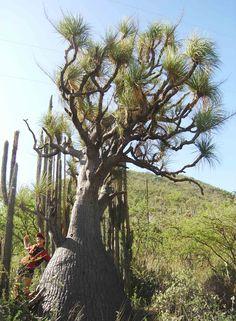 Beaucarnea Gracilis  (Pata de Elefante)  Suculenta endémica de la  Reserva de la Biosfera  Tehuacán-Cuicatlán