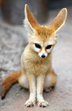 Looks like a cat. No...it's not a cat. I thought it was a cat but no diffinately not a cat. What is that?  (Fennec fox)