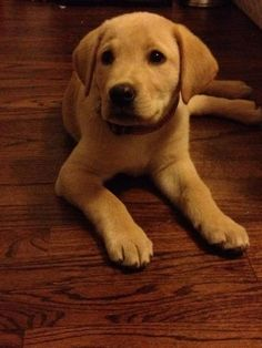 Here's my first yellow lab puppy, Ranger. Really excited