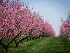 Shop our extensive selection of Peach Trees available online. We offer all of the most popular Peach Tree varieties for sale, with an Arrive Alive Guarantee. Peach Blossom Tree, Blossom Tree Tattoo, Peach Trees, Peach Blossoms, Pink Blossom, Peach Orchard, Trees Online, Landscape Plans, Garden Trees