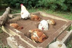 Use a sandbox as a bathtub for your chickens! Place the sandbox near your chicken coop and fill the sandbox with dirt or sawdust. Stir and top off the chicken dust bath regularly. Chicken Coup, Chicken Lady, Chicken Runs, Chicken Facts, Chicken Chick, Chickens And Roosters, Pet Chickens, Urban Chickens, Dust Bath For Chickens