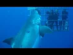 World's Largest Shark: 7-Metre-Long 'Deep Blue' Believed To Be Biggest Ever - YouTube