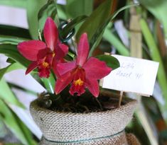 9 pompás növény a karácsonyi hangulathoz | Balkonada Plants, Plant, Planets
