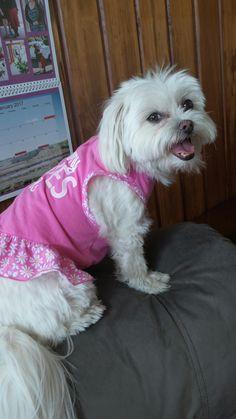 My #precious #furbaby #poppy #pinkdress on #maltchion #love her soooooo much 💖💖