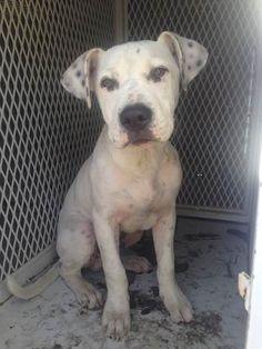 ***SUPER SUPER URGENT!!!*** - PLEASE SAVE SPOT!! - EU DATE: 4/10/2015 -- Spot (3252015m-D01) Breed:Dalmatian (mix breed) Age: Young adult Gender: Male Size: Large Special needs: hasShots, Shelter Information: Delano Animal Shelter 1525 Mettler Avenue Delano, CA Shelter dog ID: 03252015M-D01 Contacts: Phone: 661-721-3377 Name: Delano Animal Control email: SHELTER661@GMAIL.COM Read more at http://www.dogsindanger.com/dog/1427304928229#u8kuDCM80EYtzkot.99
