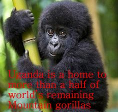 Welcome to Access Budget Safaris - Mountain Gorilla trekking in Uganda,Rwanda & Congo | African Wild life tours | East African Holiday safaris | African Nature Safaris | adventure safaris |Ugandan Tour operators | Budget Safaris