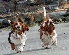 Fun = two Basset Hounds, running on the beach
