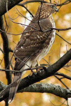Cooper's Hawk Midland Michigan by eb9271, via Flickr