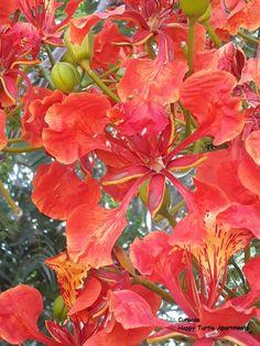 Eén grote bloemen pracht in de tuin van Happy Turtle Apartmenten op het moment. De flamboyant doet ook mee met die mooie oranje rode bloemen. Vurig temperament! #Curacao Happy Turtle, Flamboyant, Plants, Plant, Planets