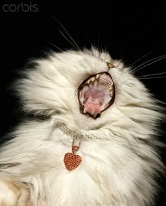 White furry cat with jeweled collar yawning - 42-30517705 - Rights Managed - Stock Photo - Corbis