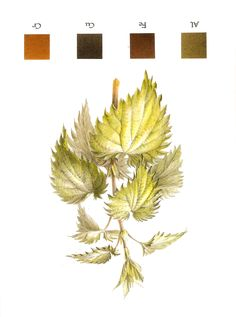 Natural dyeing: Nettle