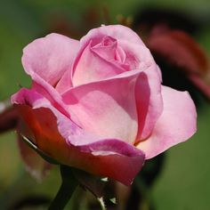 Types of Roses: Picture of Rose With Medium Pink Color Beautiful Landscapes, Beautiful Gardens, Beautiful Flowers, Perfect Pink, Pretty In Pink, Rose Varieties, Plant Information, Rose Pictures, Love Rose