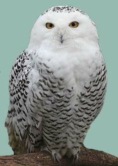 Snowy owls at Chatham Light | CapeCodToday.Com
