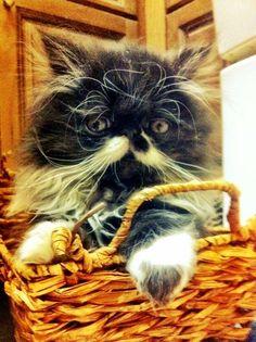 Mustache Kitten (kitten,mustache)
