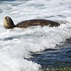Turtle Bay Oahu's North Shore. Swimming with the turtles had to be one of the coolest things I will ever do!