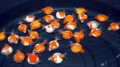 Golfball Pearlscale Goldfish <3