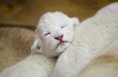Three-day old white lion cub