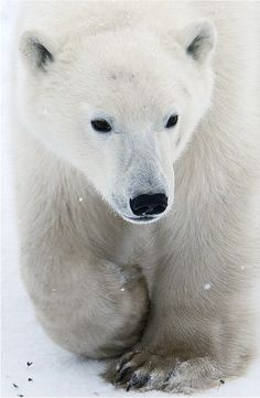 Polar Bear- Northern parts of North America and Asia. The Arctic Circle