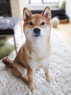 Adore Shiba Inu's. I miss Sadie; she was a rescue we ended up keeping. They're great dogs!