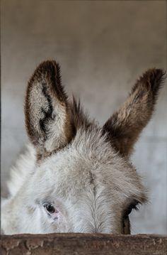 heartcorerose: maya47000: Little donkey by Melinda Brown Gentle eyes