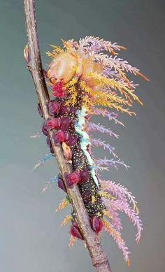 """Caterpillar of Saturniidae Moth in Switzerland. It may not be """"Wings of Beauty"""" yet, but a caterpillar this colorful has to turn into a beautiful moth! Beautiful Bugs, Beautiful Butterflies, Amazing Nature, Stunningly Beautiful, Absolutely Stunning, Beautiful Flowers, Beautiful Pictures, Paper Butterflies, Beautiful Creatures"""