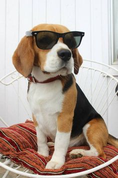 Such a cool dog! This Beagle is sporting some rad sunglasses
