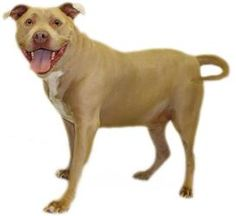 NANUKE 1/2 PRICE ADOPTION is an adoptable Pit Bull Terrier Dog in Inverness, FL.  Our small adoption fee includes: spay/neuter, vaccinations, microchip, worming, flea pill, blood test,  and free obe...