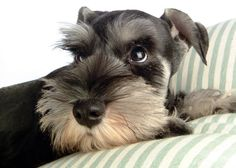 The Miniature Schnauzer is, by nature, alert, friendly, highly intelligent, spunky and long-lived.