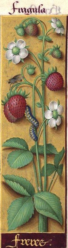 Freres - Fragula (Fragaria vesca L. = fraises) -- Grandes Heures d'Anne de Bretagne, BNF, Ms Latin 9474, 1503-1508, f°54r