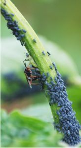 A recipe for a home remedy to get rid of aphids