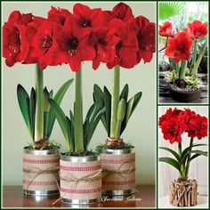 How to grow amaryllis sun flower and forcing for Amarilis decoration